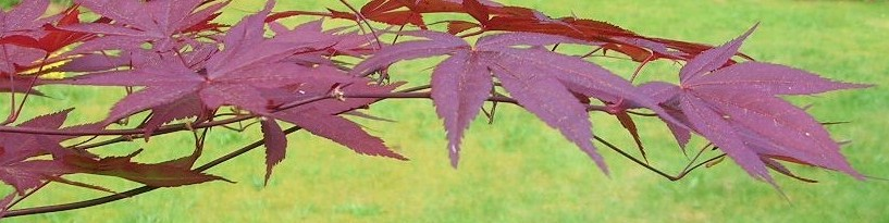 cropped-cropped-maple-color-adj.jpg