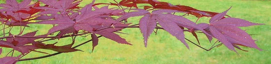 cropped-maple-color-adj.jpg